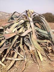 wiltedcactus